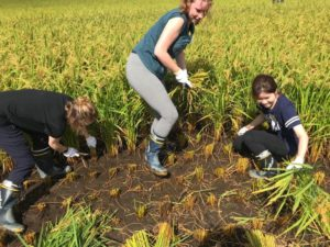 Akita International University exchange students rice harvest