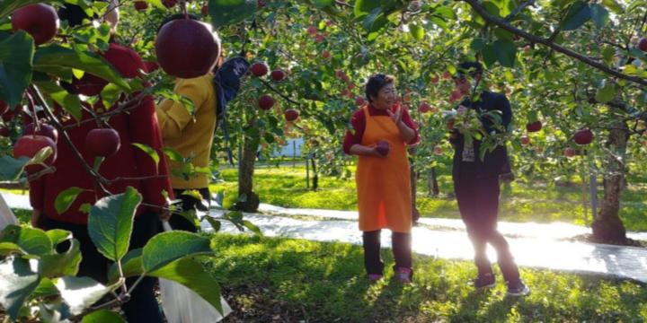 Odate farmstay trip apple orchard Akita International University exchange student