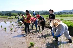 留学生が田植え体験中の写真