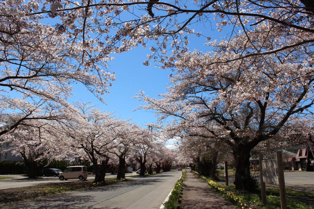 道路に沿って続く満開の桜並木