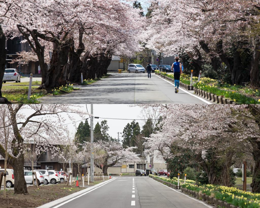 桜並木の新旧比較写真。最新の写真では、伐採された部分の空が目立つ。